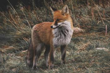 Woman left 'traumatised' after witnessing fox hunting